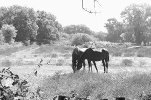 Cavalli nel parco del Lago di Fogliano