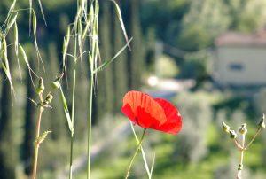 Un Papavero e un paesaggio Toscano sullo sfondo, punto di vista personale e particolare sul tema paesaggio fotografico