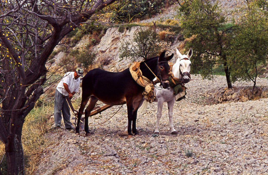 Il Mulo, a volte l'unico mezzo di locomozione possibile, altre volte un trattore...
