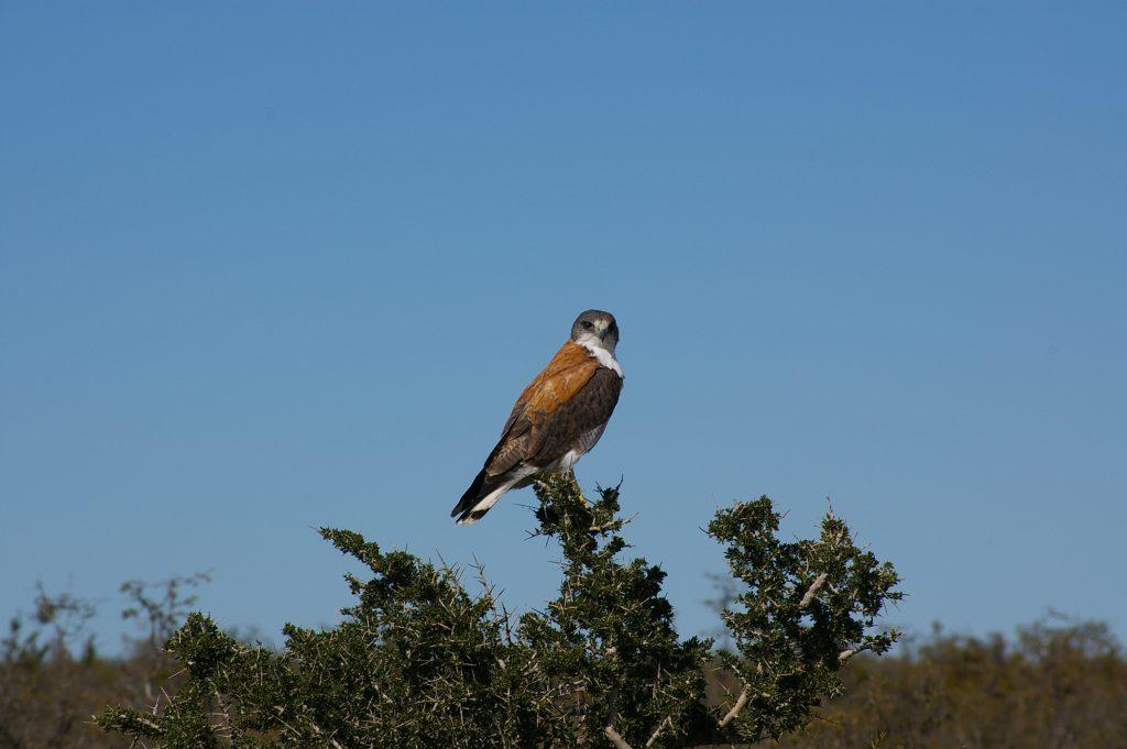 Argentina.-Gran-falco-patagonico.-Dove-gli-animali-non-sono-cacciati-non-serve-un-lungo-tele